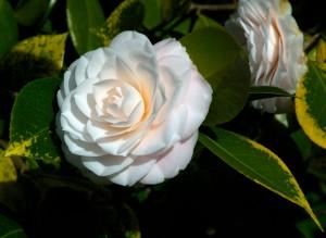 Camellia, via blog-terraviva.blogspot.com.